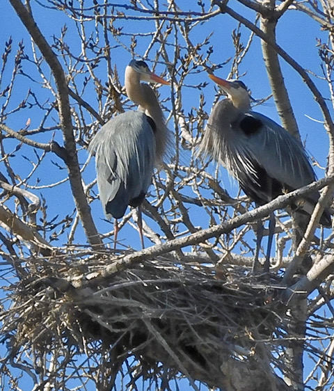 Great Blue Herons rookery