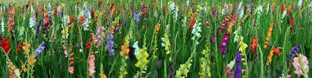 Get spectacular blooms with summer bulbs
